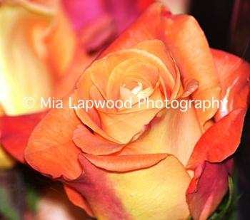O3 - Orange Rose
