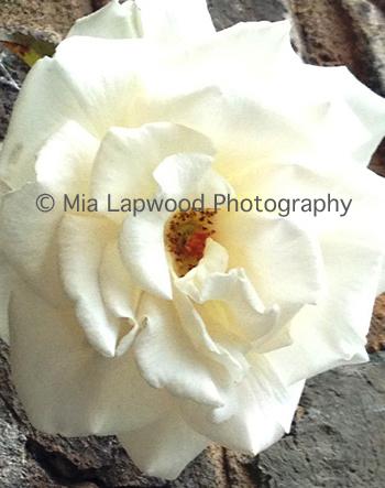 W7 - White Rose