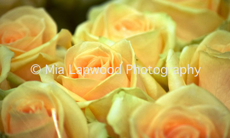 Y15  Yellow Roses