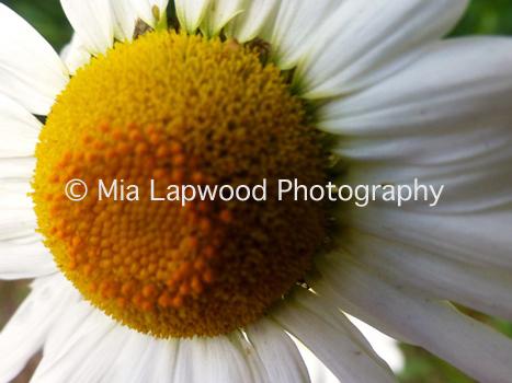 W1 - White Daisy