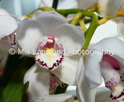 W16 - White Orchids