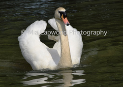 B9 (1) - Swan wm