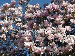 P6 - Tulip Tree