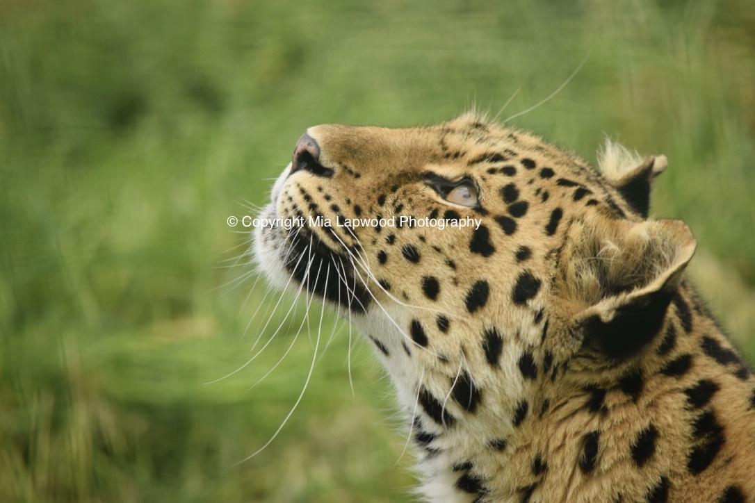 BC03 Leopard