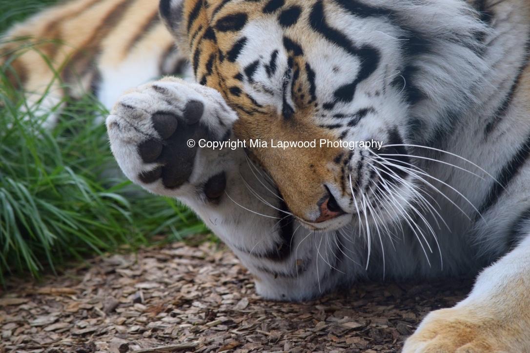BC02 Tiger