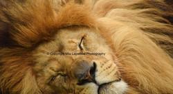 BC10 Lion