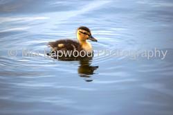 B4 - Duck