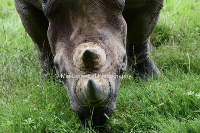 Rhino 56