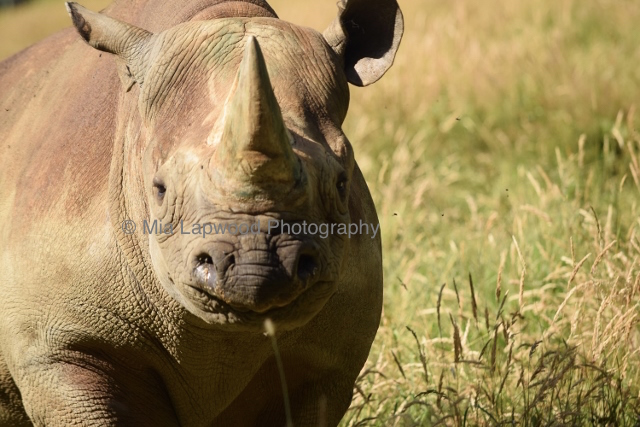 Rhino 21
