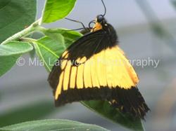 Butterfly 3 wm