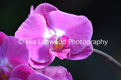 P14 - Pink Orchid