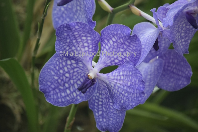 Pu12 - Purple Orchid