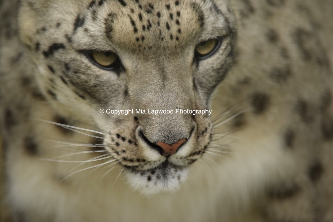 BC06 Snow Leopard