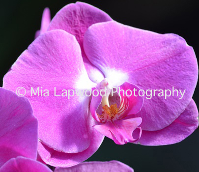 P13 Pink Orchid