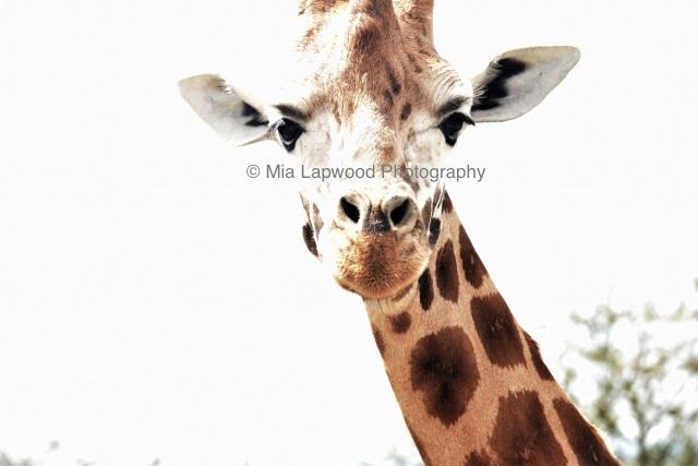 Giraffe 7