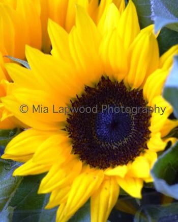 Y5 - Sunflower
