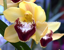 Y11 - Yellow-Purple Orchid