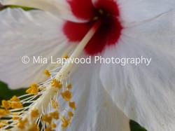 W6 - White Hibiscus