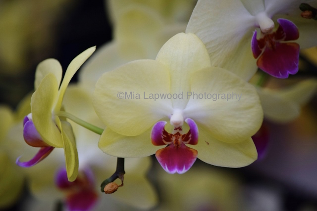 Y21 - Yellow Purple Orchid