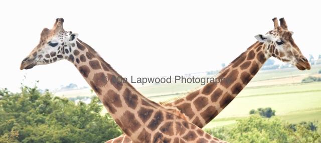 Giraffe 49