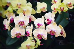 Y19 Yellow Pink Orchids