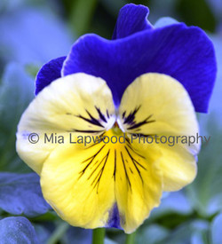Y13 - Yellow Blue Pansy