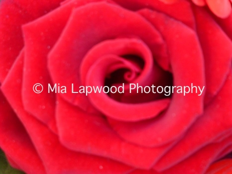 R7 -Velvet Rose