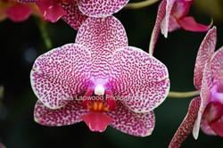 Pu13 - Purple Orchid