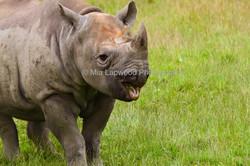 Rhino 40