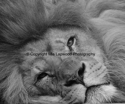 BC03 Lion