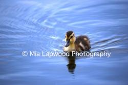 B5 - Duck