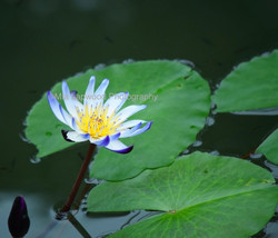 B4 - Blue Water Lily