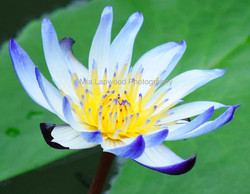 B3 - Blue Water Lily
