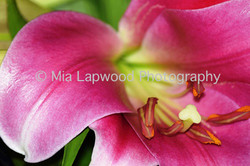 P4 - Pink Lily