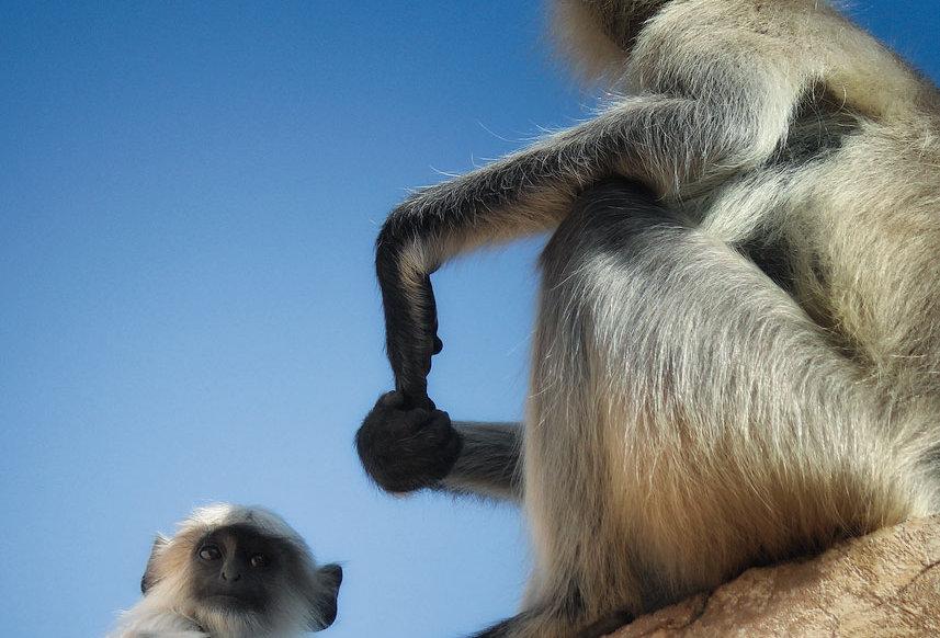 amer monkeys