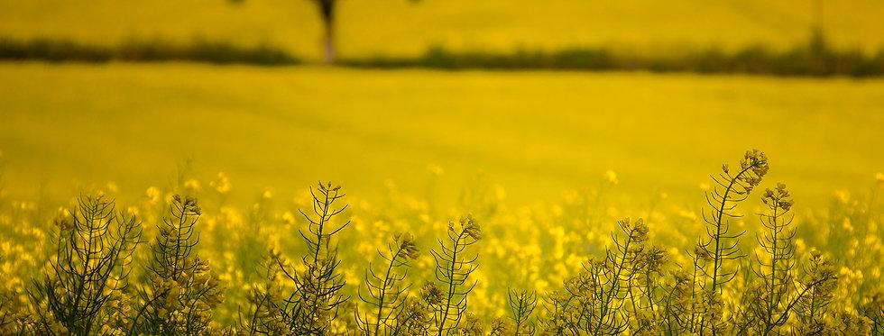 yellow rape fields