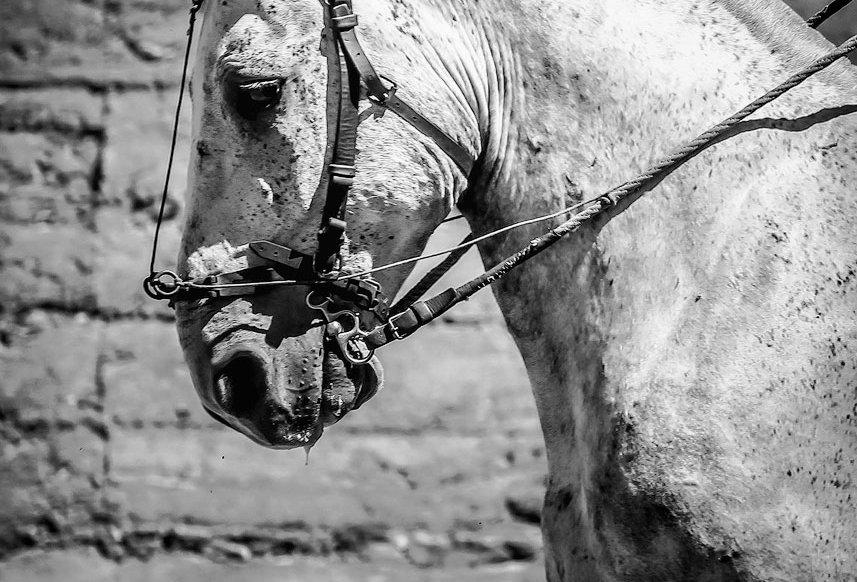 picador's horse