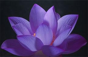 purple-lotus.jpg