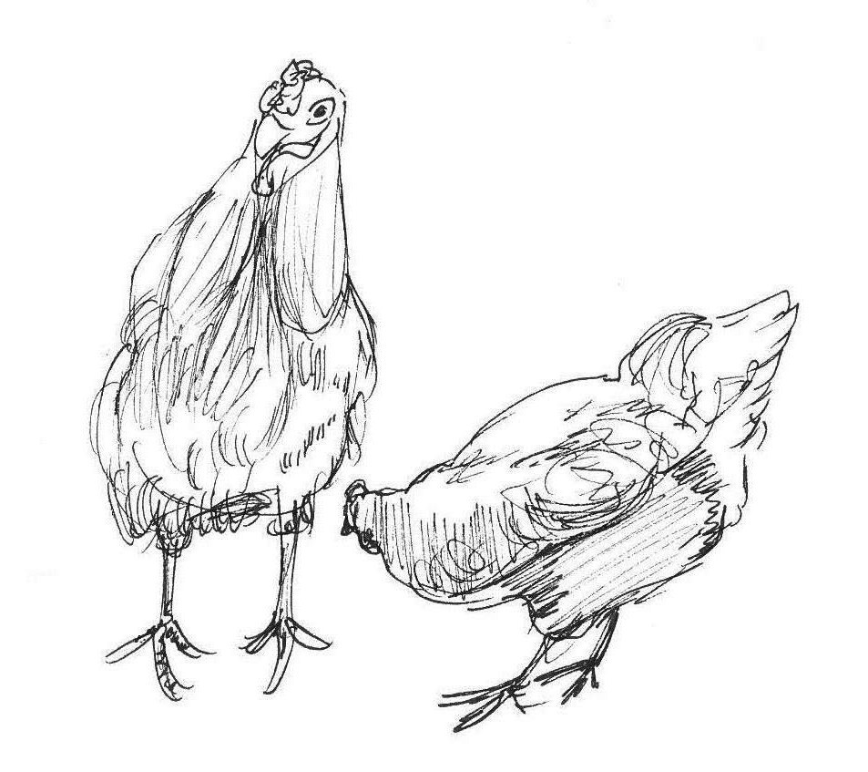 Ross Farm Chickens, ink sketch