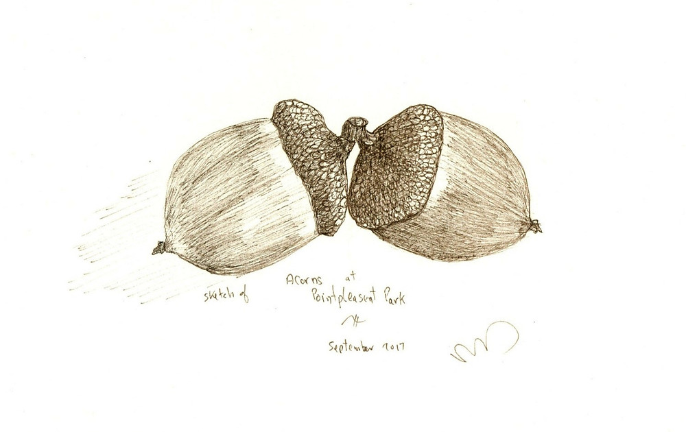 Acorns, sepia ink drawing
