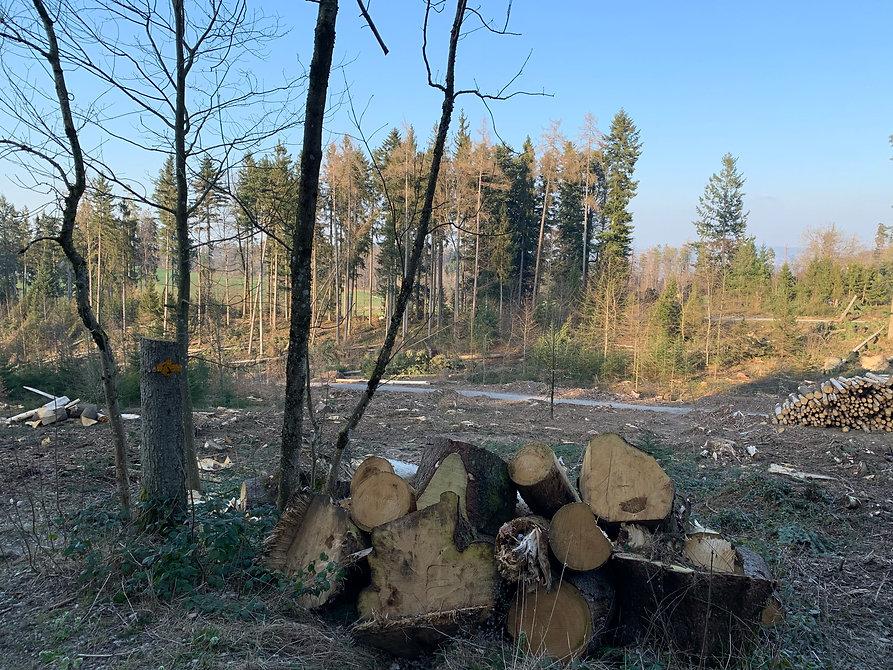 Gerodeter Wald Pfannenstil.jpeg