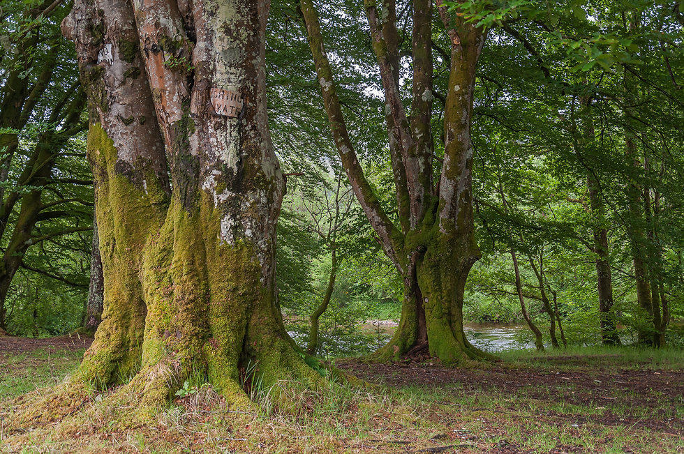 Old beech trees covered with moss, Glenc