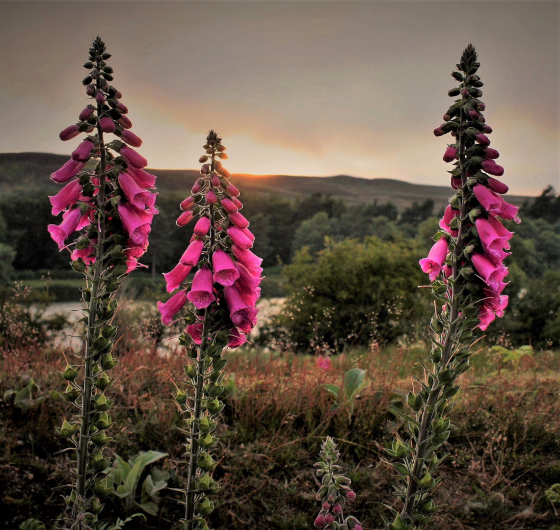 Foxgloves and Sunset