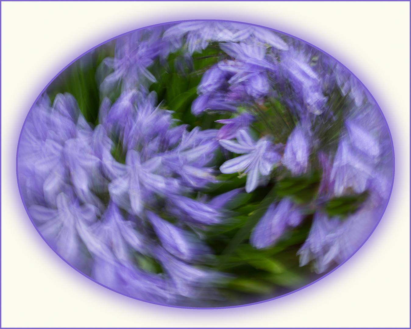 Agapanthus Swirl