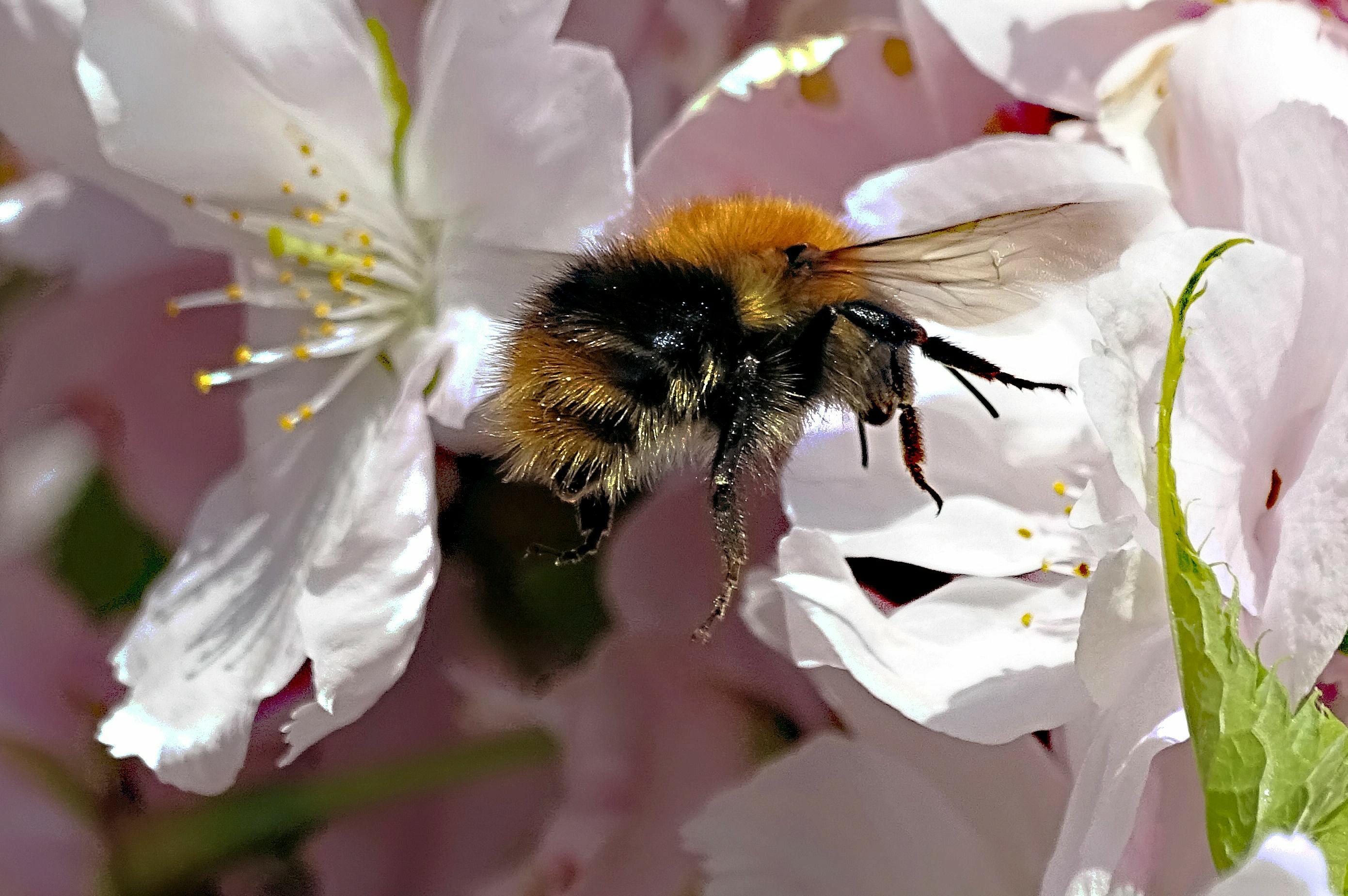 Has Bee'n