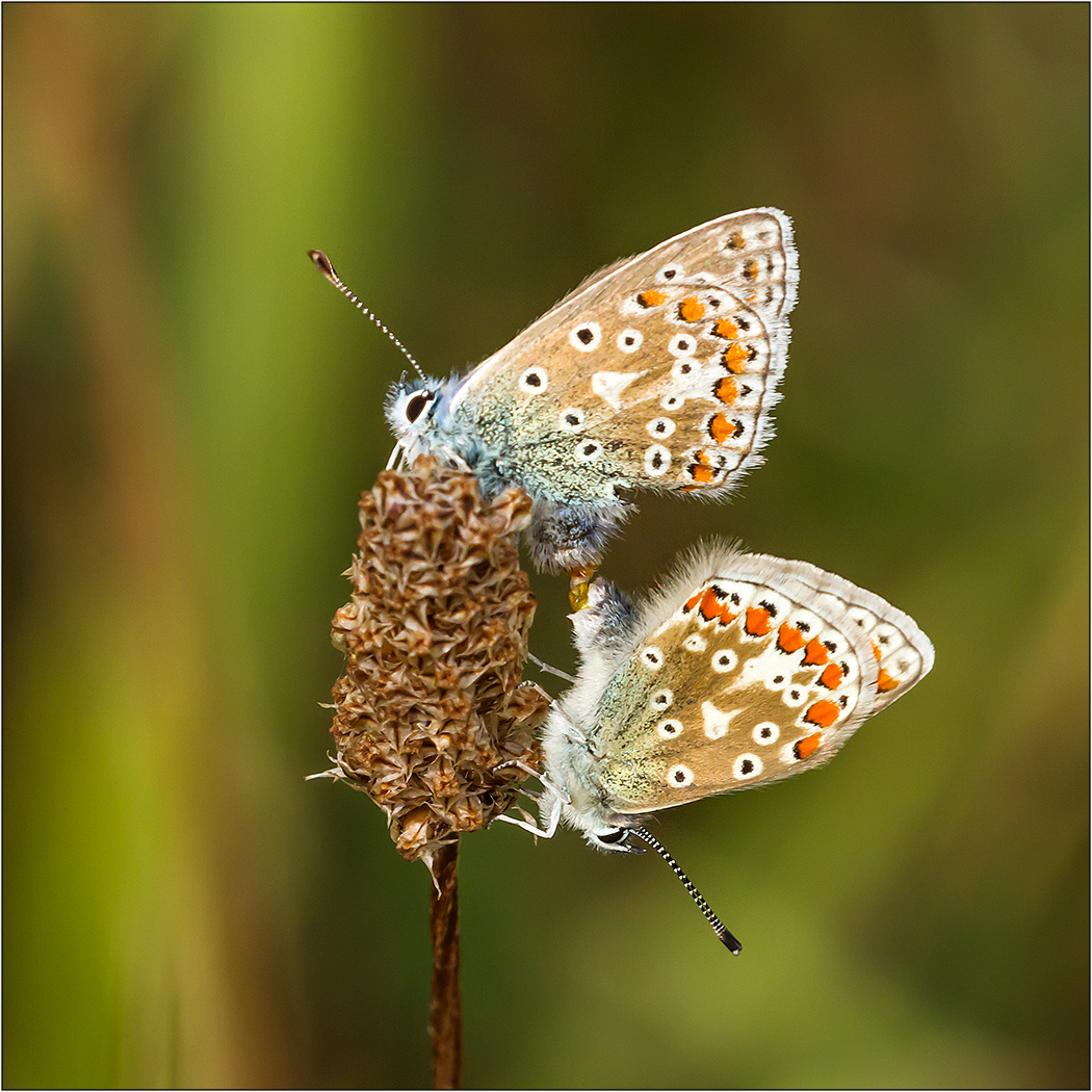 Common Blue times Two