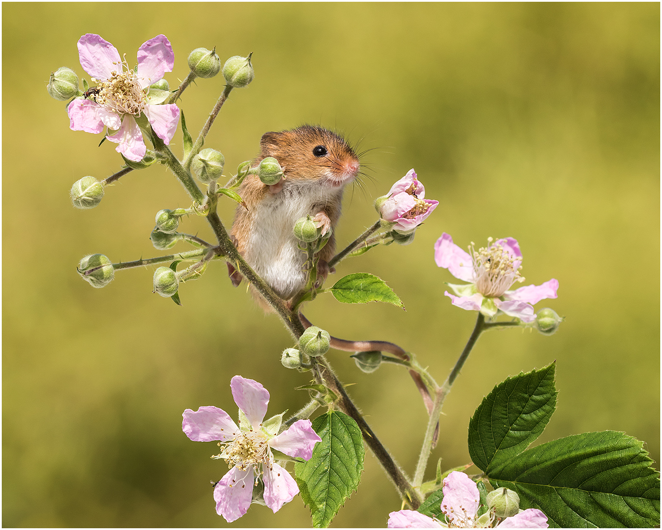 Harvest Mouse on Bramble
