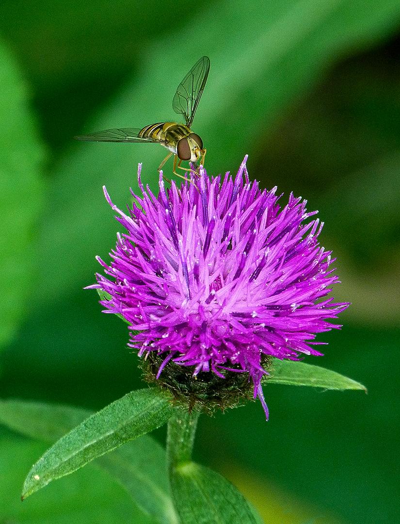Hornet on Clover