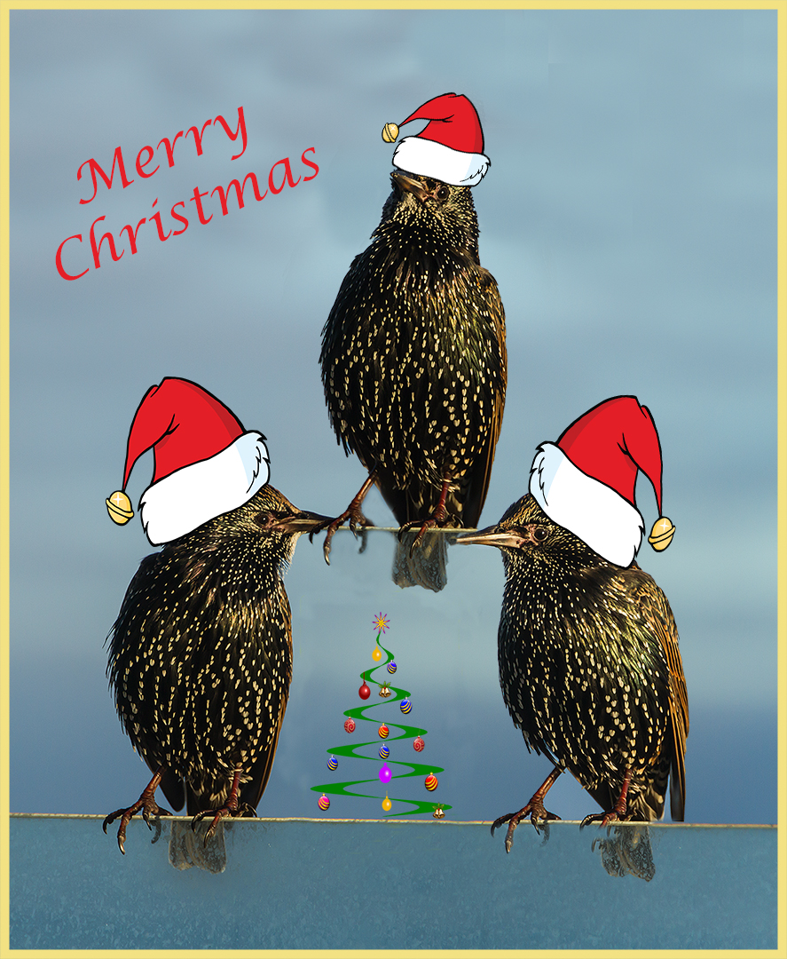 41-We Three Starlings of Xmas Are