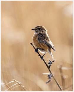 Stonechat on Duty
